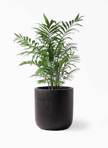 観葉植物 テーブルヤシ 7号 エルバ 黒 付き