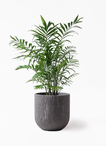 観葉植物 テーブルヤシ 7号 カルディナダークグレイ 付き