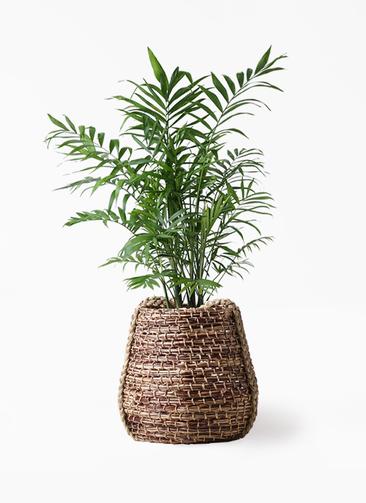観葉植物 テーブルヤシ 7号 リゲル 茶 付き