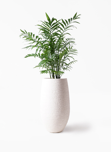 観葉植物 テーブルヤシ 7号 フォンティーヌトール 白 付き