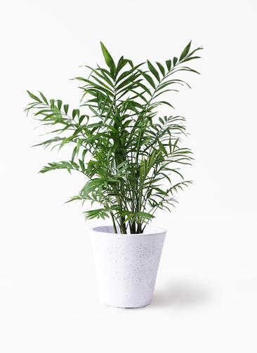 観葉植物 テーブルヤシ 7号 フォリオソリッド 白 付き