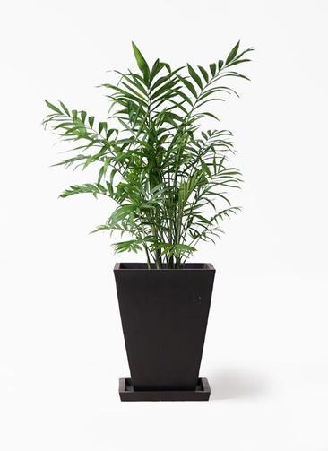 観葉植物 テーブルヤシ 7号 パウダーストーン 黒 付き