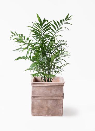 観葉植物 テーブルヤシ 7号 テラアストラ カペラキュビ 赤茶色 付き