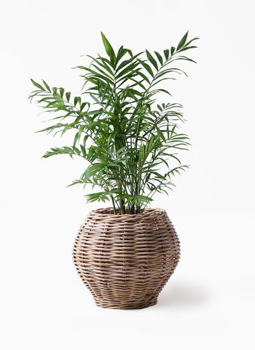 観葉植物 テーブルヤシ 7号 グレイラタン 付き