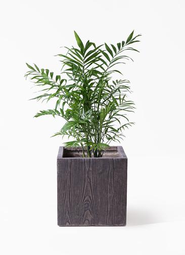 観葉植物 テーブルヤシ 7号 ベータ キューブプランター ウッド 茶 付き