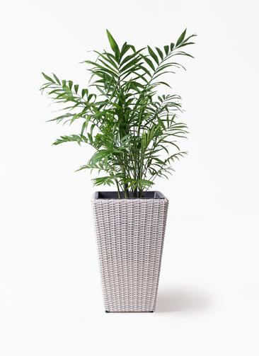 観葉植物 テーブルヤシ 7号 ウィッカーポット スクエアロング OT 白 付き