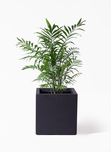 観葉植物 テーブルヤシ 7号 ベータ キューブプランター 黒 付き