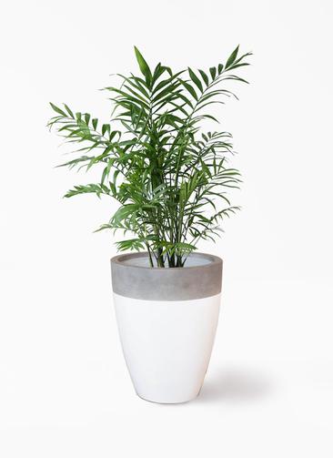 観葉植物 テーブルヤシ 7号 ファイバーストーンカプリ 白 付き