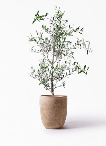 観葉植物 オリーブの木 8号 コレッジョラ ルーガ アンティコ アルトエッグ 付き