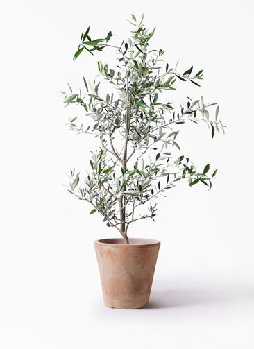 観葉植物 オリーブの木 8号 コレッジョラ ルーガ アンティコ ソリッド 付き