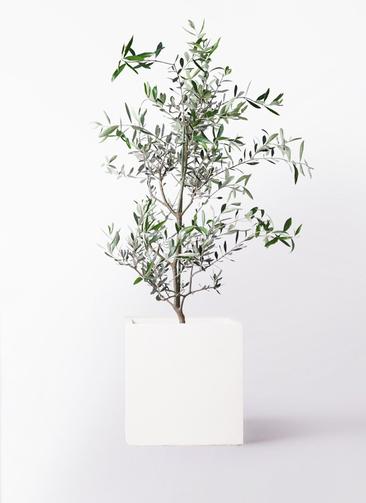 観葉植物 オリーブの木 8号 コレッジョラ バスク キューブ 付き