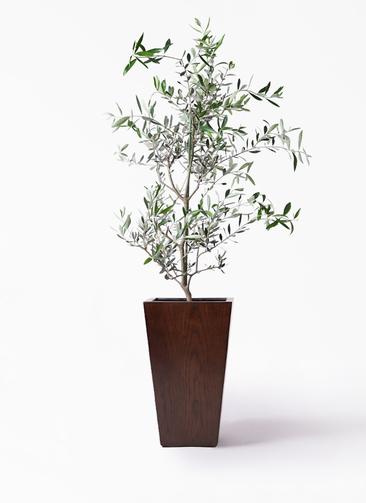観葉植物 オリーブの木 8号 コレッジョラ MOKU スクエア 付き