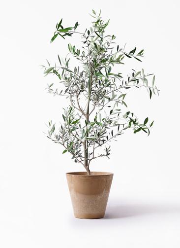 観葉植物 オリーブの木 8号 コレッジョラ アートストーン ラウンド ベージュ 付き