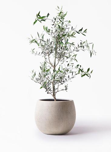 観葉植物 オリーブの木 8号 コレッジョラ テラニアス ローバルーン アンティークホワイト 付き