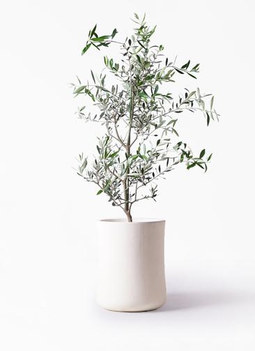 観葉植物 オリーブの木 8号 コレッジョラ バスク ミドル ホワイト 付き