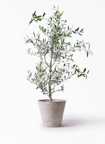 観葉植物 オリーブの木 8号 コレッジョラ アートストーン ラウンド グレー 付き