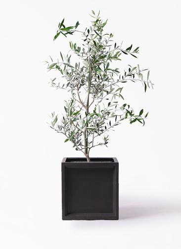 観葉植物 オリーブの木 8号 コレッジョラ ブリティッシュキューブ 付き