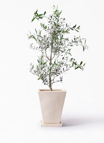 観葉植物 オリーブの木 8号 コレッジョラ スクエアハット 白 付き