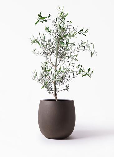 観葉植物 オリーブの木 8号 コレッジョラ テラニアス バルーン アンティークブラウン 付き