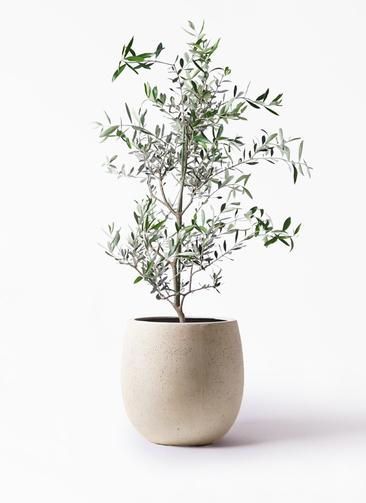 観葉植物 オリーブの木 8号 コレッジョラ テラニアス バルーン アンティークホワイト 付き