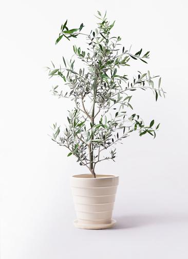 観葉植物 オリーブの木 8号 コレッジョラ サバトリア 白 付き