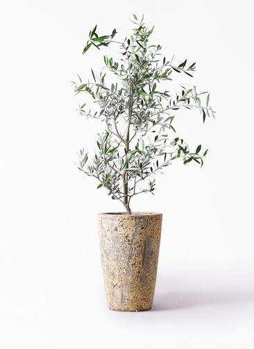 観葉植物 オリーブの木 8号 コレッジョラ アトランティス クルーシブル 付き