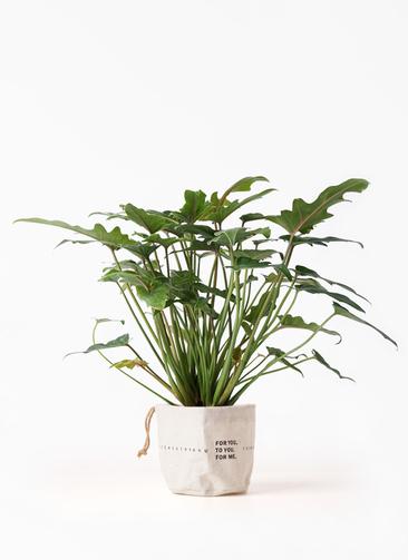 観葉植物 クッカバラ 4号 ラップサック 付き