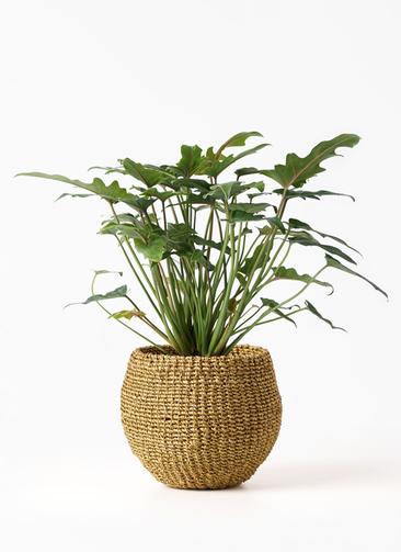 観葉植物 クッカバラ 4号 アバカバスケット オリーブ 付き