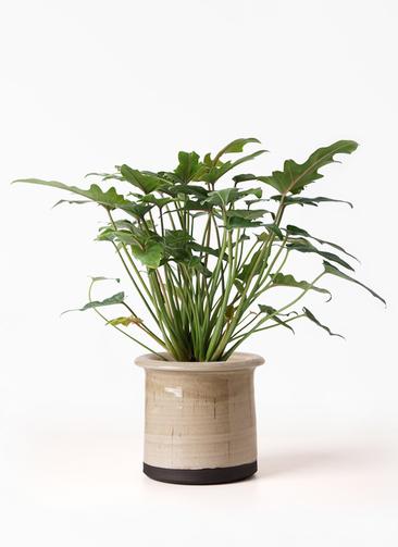 観葉植物 クッカバラ 4号 アンティークテラコッタ グレイ 付き