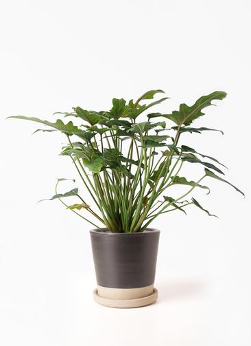 観葉植物 クッカバラ 4号 マット グレーズ テラコッタ ブラック 付き