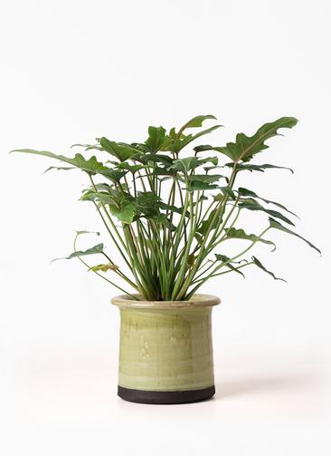 観葉植物 クッカバラ 4号 アンティークテラコッタ グリーン 付き