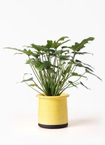 観葉植物 クッカバラ 4号 アンティークテラコッタ イエロー 付き