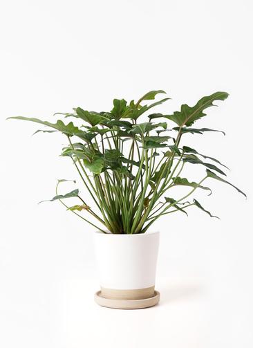 観葉植物 クッカバラ 4号 マット グレーズ テラコッタ ホワイト 付き