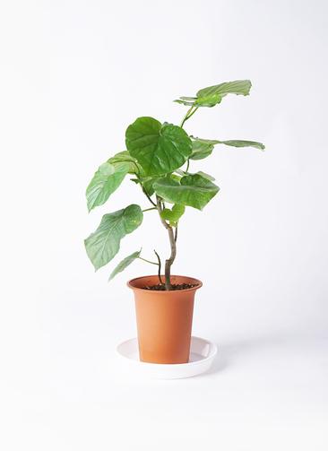 観葉植物 フィカス ウンベラータ 6号 ノーマル プラスチック鉢