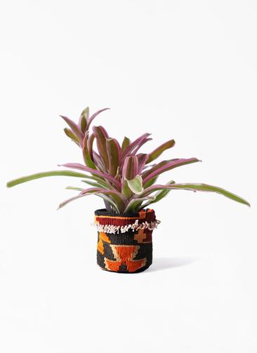 観葉植物 ネオレゲリア 3号 キリムポット 付き