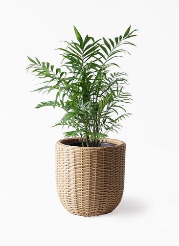 観葉植物 テーブルヤシ 7号 ウィッカーポットエッグ ベージュ 付き