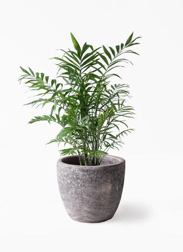 観葉植物 テーブルヤシ 7号 アビスソニアミドル 灰 付き