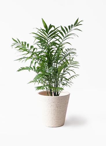 観葉植物 テーブルヤシ 7号 ビアスソリッド 白 付き