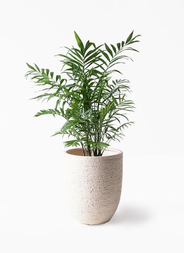 観葉植物 テーブルヤシ 7号 ビアスアルトエッグ 白 付き