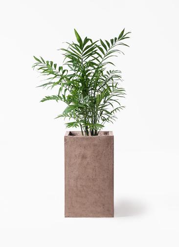 観葉植物 テーブルヤシ 7号 セドナロング グレイ 付き