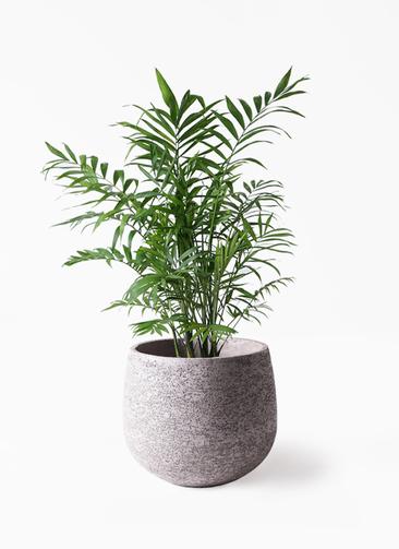 観葉植物 テーブルヤシ 7号 エコストーンGray 付き