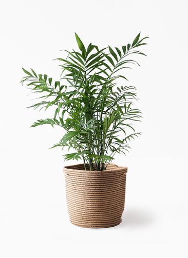 観葉植物 テーブルヤシ 7号 リブバスケットNatural 付き