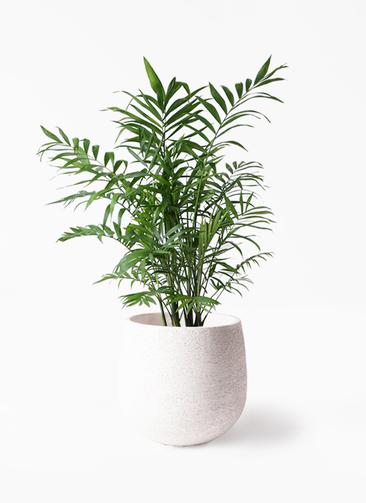 観葉植物 テーブルヤシ 7号 エコストーンwhite 付き