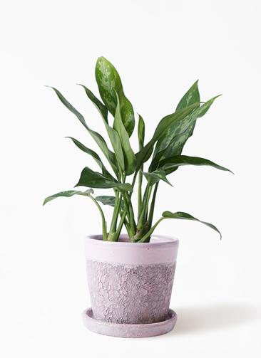 観葉植物 アグラオネマ 4号 ハレー ピンク 付き