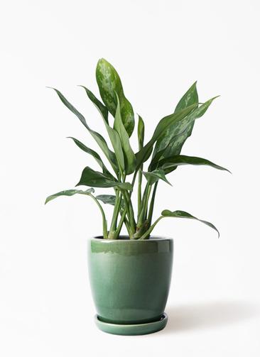 観葉植物 アグラオネマ 4号 アステア トール グリーン 付き