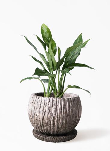 観葉植物 アグラオネマ 4号 ストーン ウェア セラミック 付き