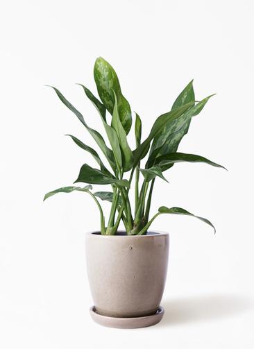 観葉植物 アグラオネマ 4号 アステア トール ベージュ 付き