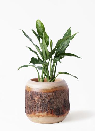 観葉植物 アグラオネマ 4号 マンゴーウッド 付き