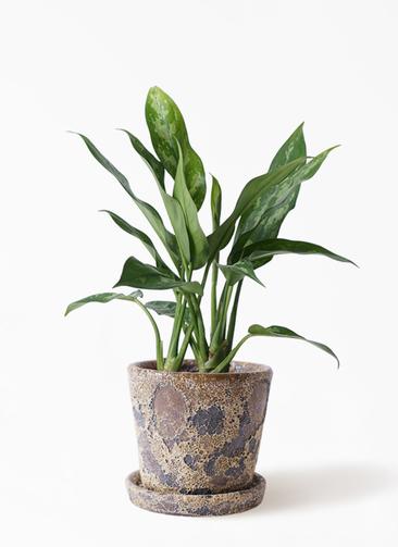 観葉植物 アグラオネマ 4号 ハレー カーキー 付き