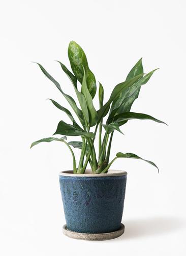 観葉植物 アグラオネマ 4号 フェイバーポット ブルー 付き